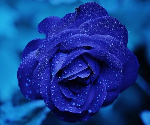rose-165819_640 (1)